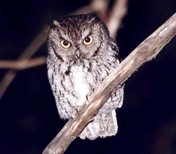 Image of: Tawny Owl Cal Poly Land Western Screech Owl